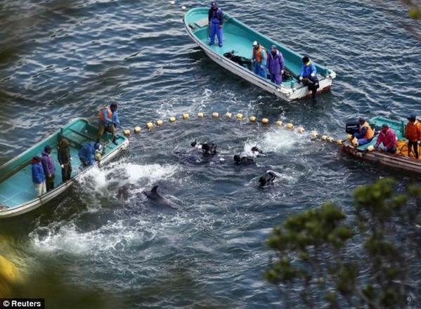 نداءات كثيرة لوقف مهرجان دموي لقتل الدلافين في اليابان شاهد بالصور