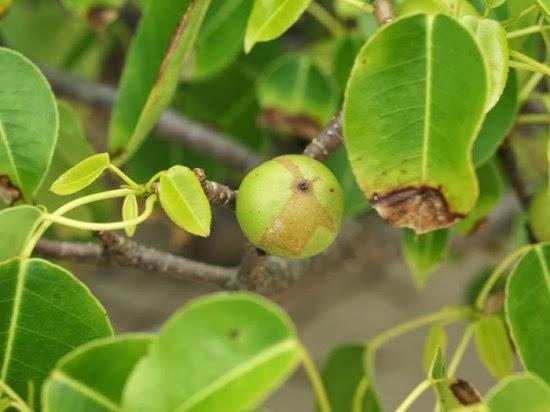 Manchineel tree. شجرة المنشيلين أخطر أشجار العالم