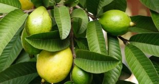 أوراق الجوافة.. فوائد مختلفة وغير متوقعة