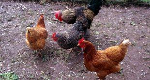 مشروع ناجح تربية الدجاج البلدي البياض للمغاربة