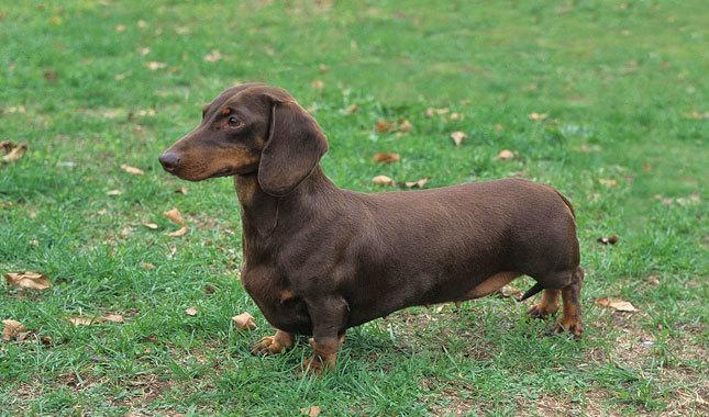سلالة الكلاب الألمانية Dachshunds :