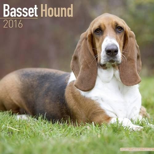 سلالة الكلاب الفرنسية Basset Hound :