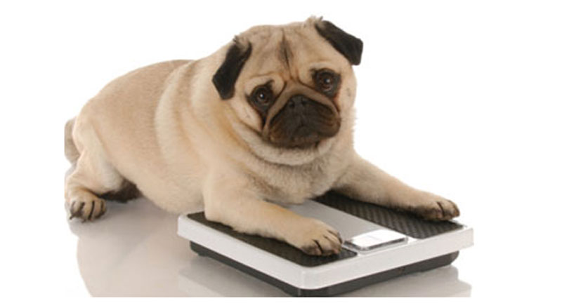 6 ستة سلالات من الكلاب الأكثر عرضة لمرض السمنة