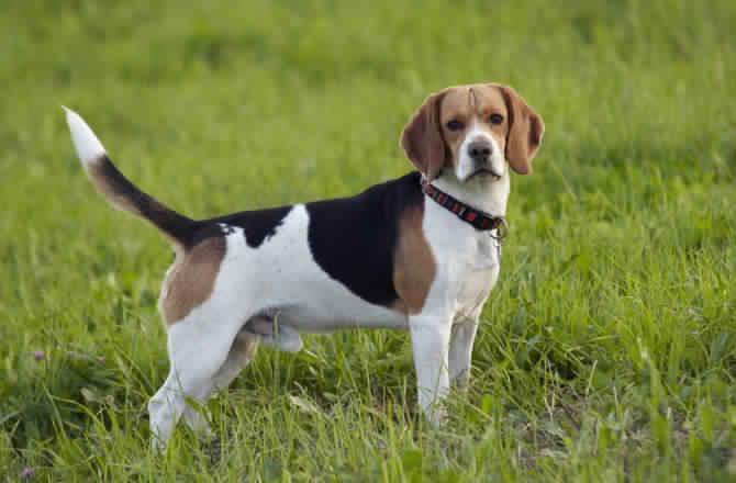 سلالة كلاب البيجل (كلاب الصيد) Beagle Dog :