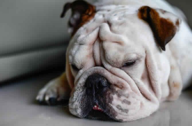 سلالة كلاب البولدوج Bulldog: