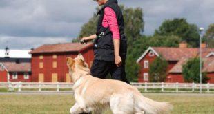 تدريب الكلب على الوقوف الطبيعي