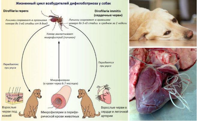 علاج مرض الديدان في الكلاب