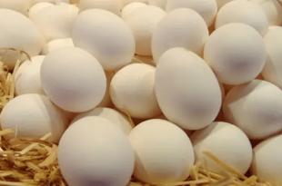أنواع سلالات الدجاج الأكثر إنتاجاً للبيض
