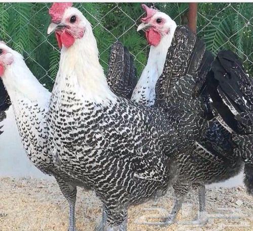 دجاج البلدي الفيومي