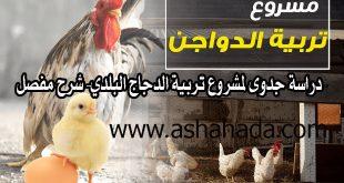 دراسة جدوى لمشروع تربية الدجاج البلدي- شرح مفصل