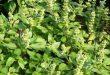 علاج طبيعي لحب الشباب- الصداع- السعال بعشب الريحان